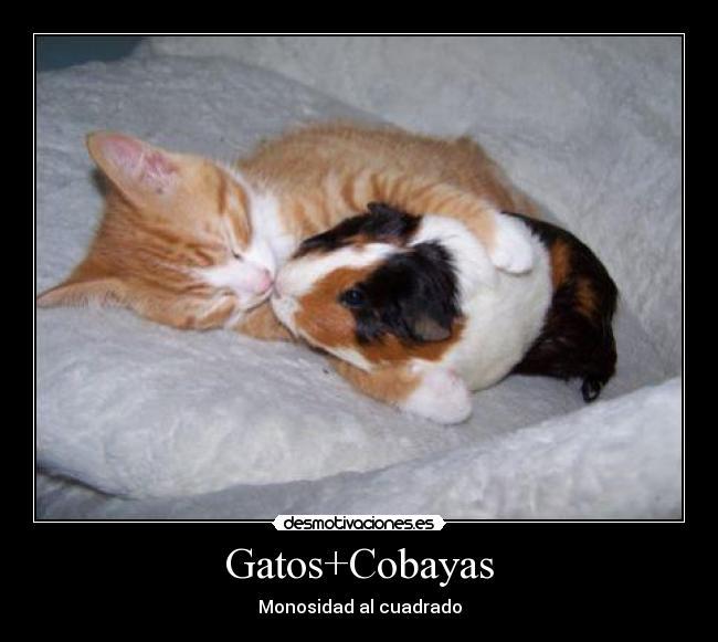 Gatos cobayas desmotivaciones - Informacion de cobayas ...