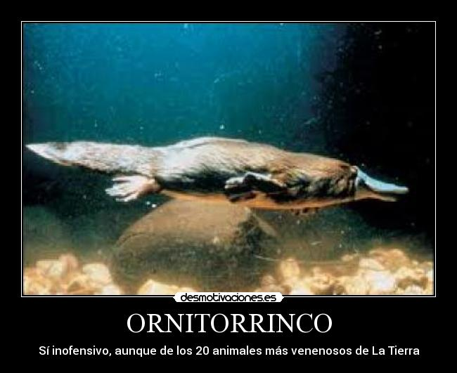 ORNITORRINCO -
