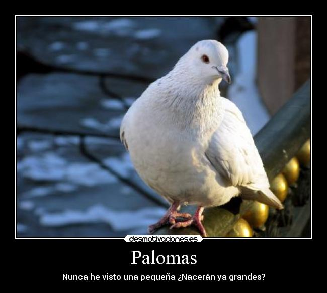 Palomas - Nunca he visto una pequea Nacern ya grandes?