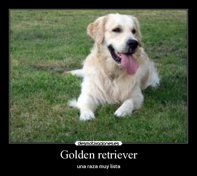 carteles golden retriever desmotivaciones