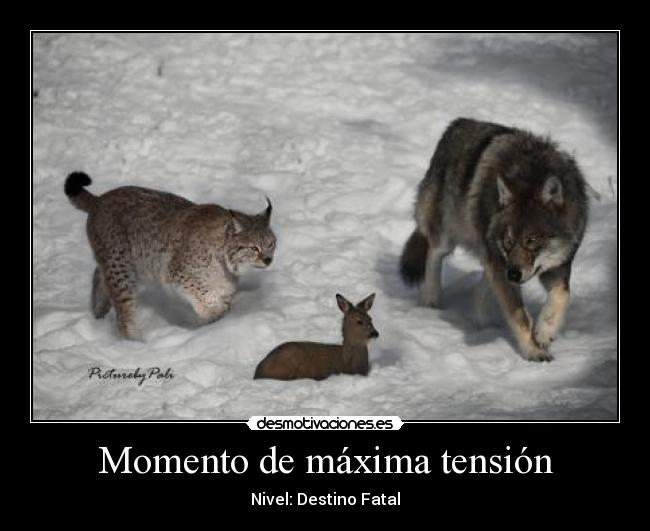 bobcat vs wolf