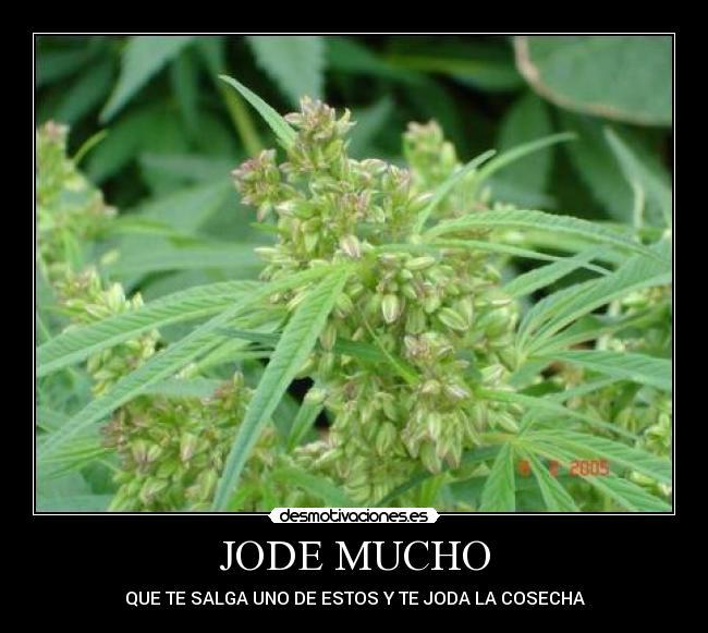 Desmotivaciones de planta macho marihuana pifia cosecha hembra maria