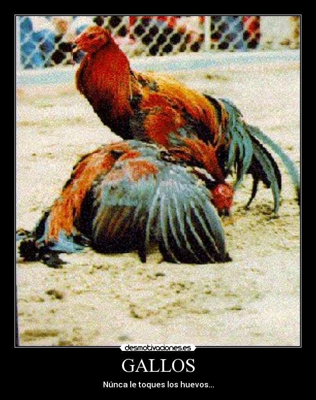 carteles gallos desmotivaciones