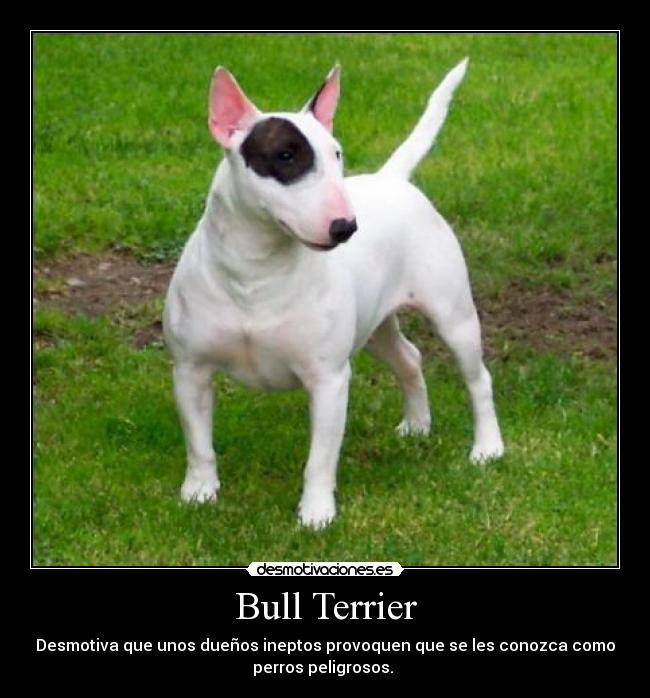 Bull Terrier   Desmotivaciones