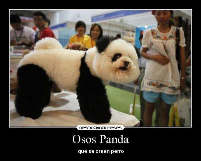 Osos Panda   Desmotivaciones
