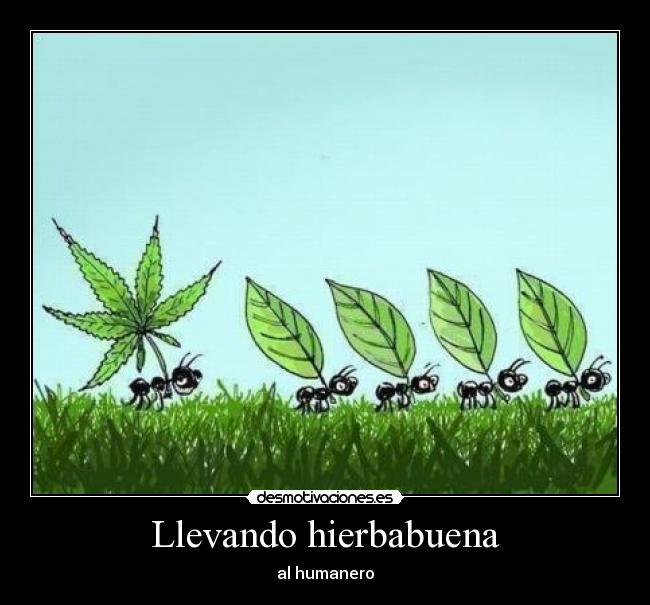 Hoja de Marihuana Hoja Maria Marihuana Porro
