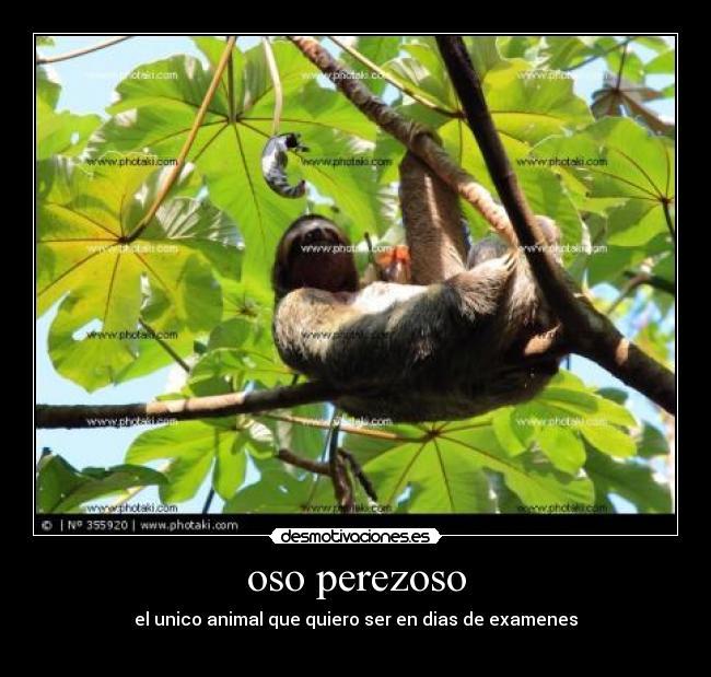oso perezoso - desmotivaciones.es