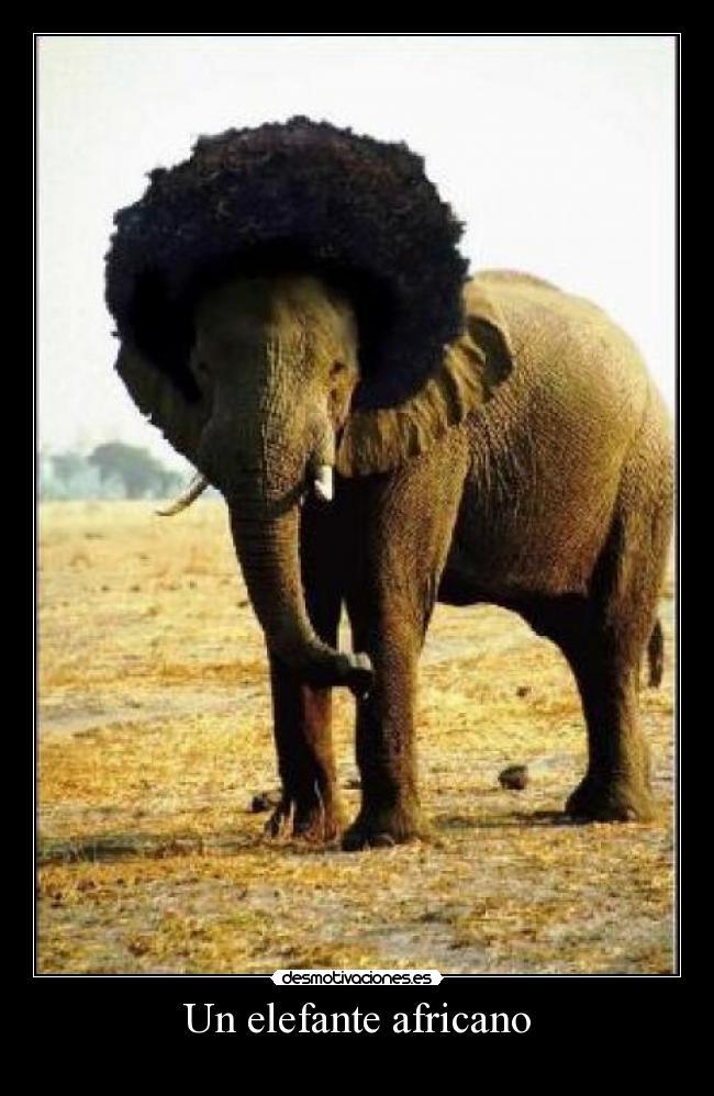 Un elefante africano -