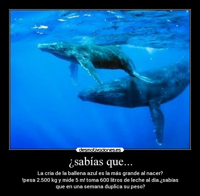las ballenas azules | los animales
