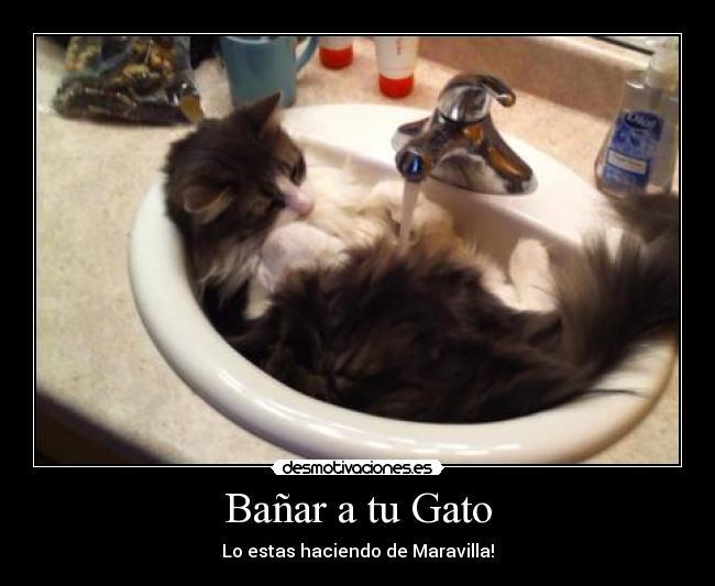 Bañar A Un Gato   Banar A Tu Gato Desmotivaciones