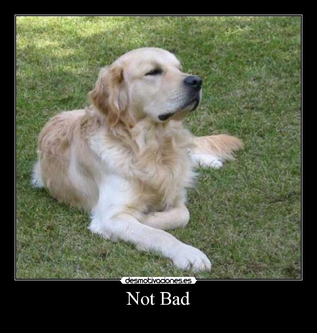 carteles perro golden retriever not bad meme obama desmotivaciones