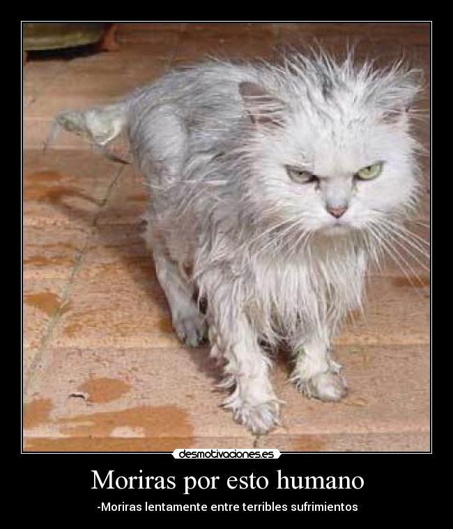 gatos enojados MEMEs