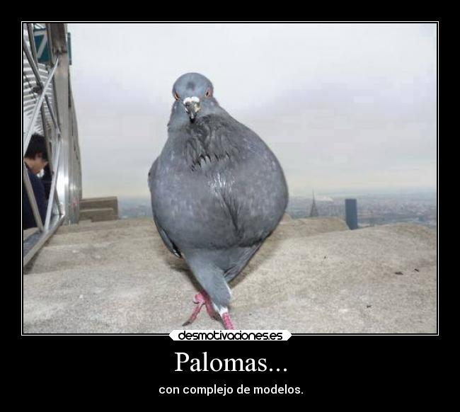 carteles animales palomas americas next top bird desmotivaciones