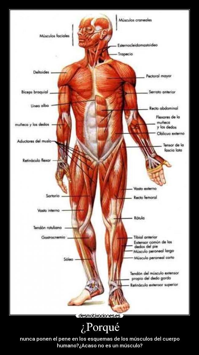 Único Diagrama De Músculos Del Cuerpo Viñeta - Anatomía de Las ...