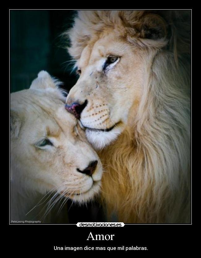 Leones Enamorados Con Frases Www Imagenesmy Com