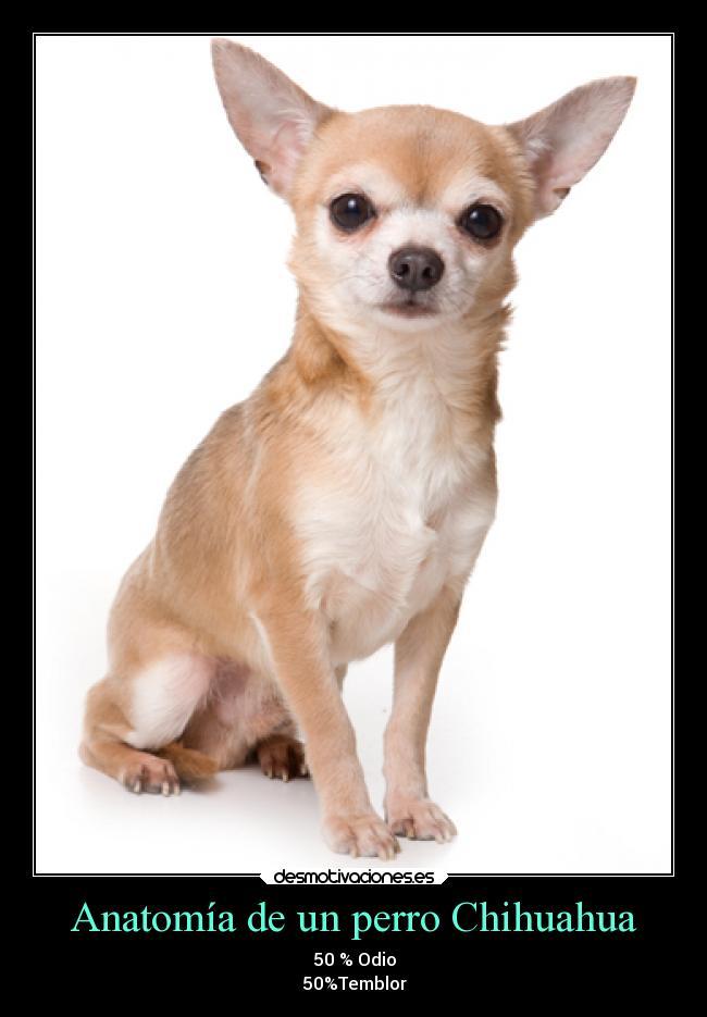 Anatomía de un perro Chihuahua   Desmotivaciones